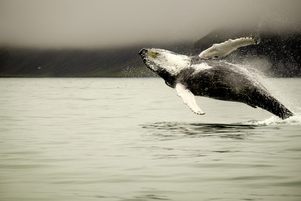 whale watching husavik Visiting Iceland My Late Deals